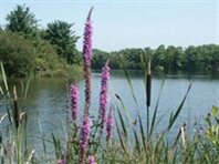 purple-loosestrife-Cropped-240x180-Cropped-198x14846